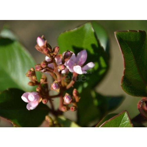 Bloemen-flowers Rhaphiolepis indica - Indische haagdoorn