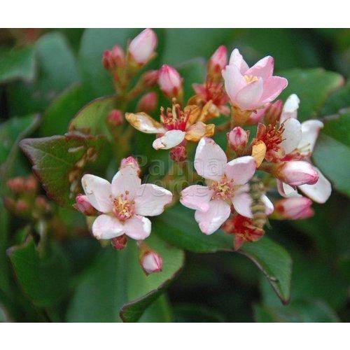 Bloemen-flowers Rhaphiolepis indica