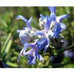 Bloemen-flowers Rosmarinus officinalis - Rozemarijn