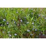 Bloemen-flowers Sollya heterophylla