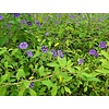 Bloemen-flowers Solanum rantonnetii - Blue potato bush