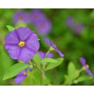 Bloemen-flowers Solanum rantonnetii - Blauwe aardappelstruik