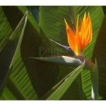 Bloemen-flowers Strelitzia reginae - Paradijsvogelbloem