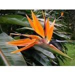 Bloemen-flowers Strelitzia reginae - Bird of paradise