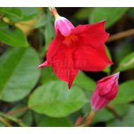 Bloemen-flowers Sundaville