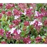 Bloemen-flowers Thymus praecox Coccineus - Kruiptijm