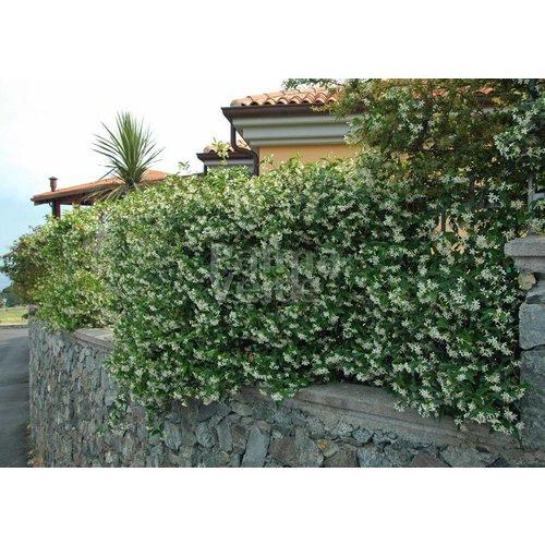 Bloemen-flowers Trachelospermum jasminoides - Star jasmine - Tuscan jasmine