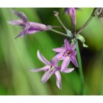 Bloemen-flowers Tulbaghia violacea - Wild garlic