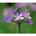 Bloemen-flowers Tulbaghia violacea - Wilde knoflook