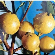 Eetbare tuin-edible garden Psidium littorale Golden - Yellow guave