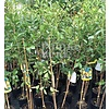Eetbare tuin-edible garden Psidium littorale Golden - Gele guave