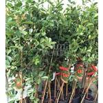 Eetbare tuin-edible garden Psidium cattleianum - Aardbeiguave