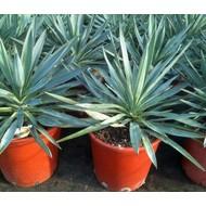 Woestijn-desert Yucca gloriosa