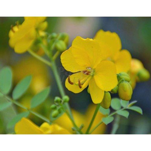 Bloemen-flowers Cassia corymbosa - Senna corymbosa