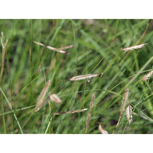 Siergrassen-ornamental grasses Bouteloua gracilis - Muskietengras