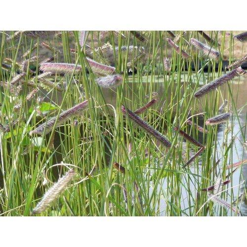 Siergrassen-ornamental grasses Bouteloua gracilis
