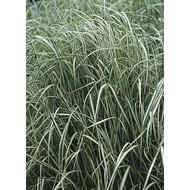 Siergrassen-ornamental grasses Calamagrostis x acutiflora Avalanche - Struisriet