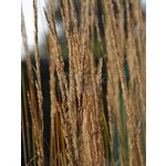 Siergrassen-ornamental grasses Calamagrostis x acutiflora Overdam - Struisriet