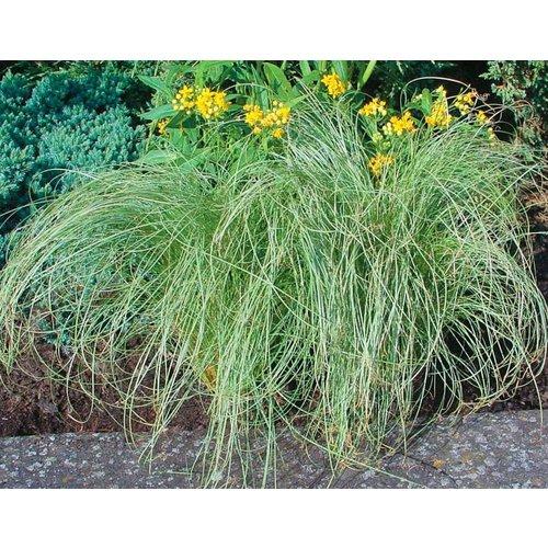 Siergrassen-ornamental grasses Carex comans Amazon Mist