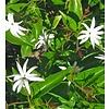 Bloemen-flowers Jasminum nitidum - Jasminum magnificum