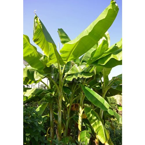 Bananen-bananas Musa dajiao