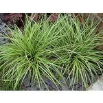 Siergrassen-ornamental grasses Carex oshimensis Evergold