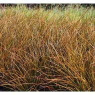 Siergrassen-ornamental grasses Carex testacea - Oranjezegge