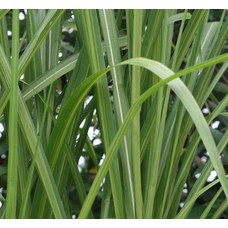 Siergrassen-ornamental grasses Miscanthus floridulus Jubilaris - Chinees reuzenriet