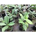 Bloemen-flowers Petrea volubilis - Bloem van God