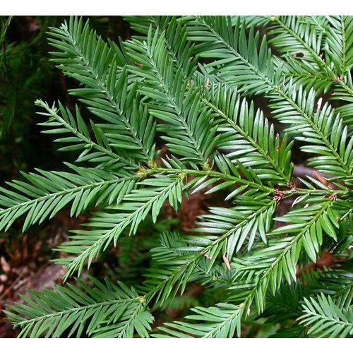 Bomen-trees Sequoia sempervirens - Kustmammoetboom