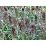 Siergrassen-ornamental grasses Pennisetum alopecuroides Paul's Giant - Lampenpoetsergras