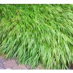 Siergrassen-ornamental grasses Hakonechloa macra