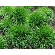 Siergrassen-ornamental grasses Luzula pilosa Igel - Veldbies