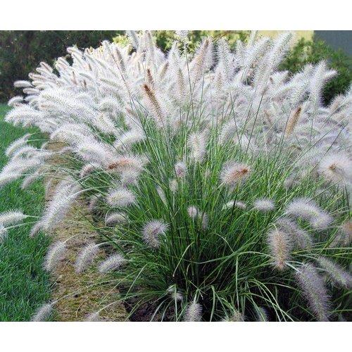 Siergrassen-ornamental grasses Pennisetum alopecuroides Hameln