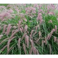 Siergrassen-ornamental grasses Pennisetum orientale - Fonteingras