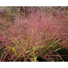 Siergrassen-ornamental grasses Eragrostris spectabilis - Liefdesgras
