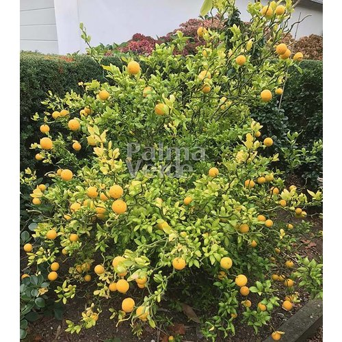 Bomen-trees Poncirus trifoliata Flying Dragon - Wilde citroen
