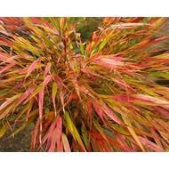 Siergrassen-ornamental grasses Hakonechloa macra Nicolas