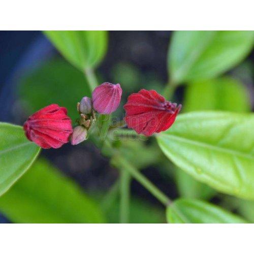 Bloemen-flowers Pavonia multiflora