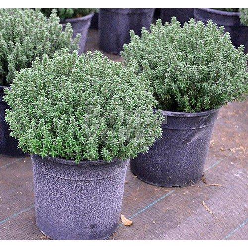 Bloemen-flowers Thymus vulgaris - Thyme