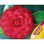 Bloemen-flowers Camellia japonica Black Lace - Japanse roos