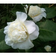 Bloemen-flowers Camellia japonica Snow Ball - Japanese rose
