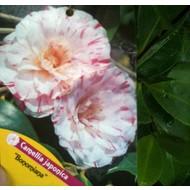 Bloemen-flowers Camellia japonica Bonomiana - Japanse roos