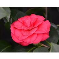 Bloemen-flowers Camellia japonica Rossa