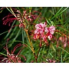 Bloemen-flowers Grevillea johnsonii