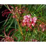 Bloemen-flowers Grevillea johnsonii - Australische zilvereik