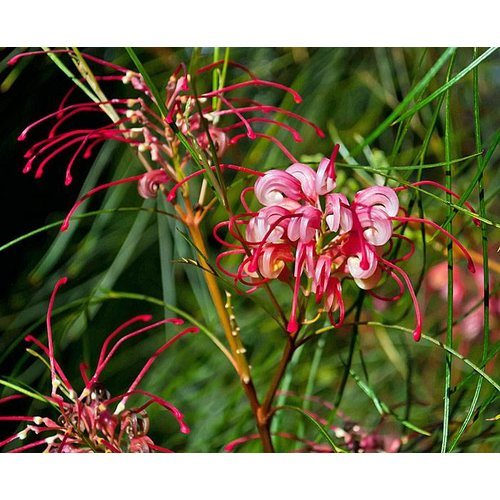 Bloemen-flowers Grevillea johnsonii
