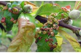 Krulziekte bij prunus soorten