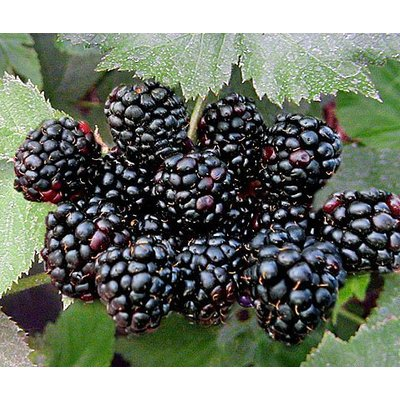 Eetbare tuin-edible garden Rubus fruticosus Black Satin - Braambes