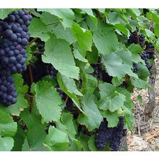 Eetbare tuin-edible garden Vitis vinifera Boskoop Glory - Druif